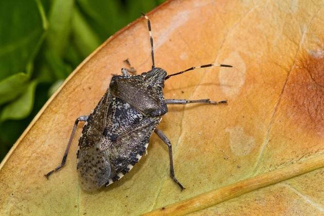 """una foto della mosca detta """"Sputacchina"""""""