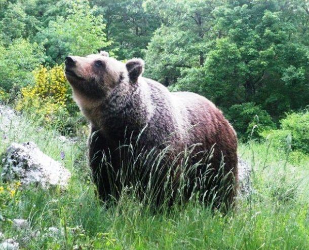 immagine di un orso bruno marsicano