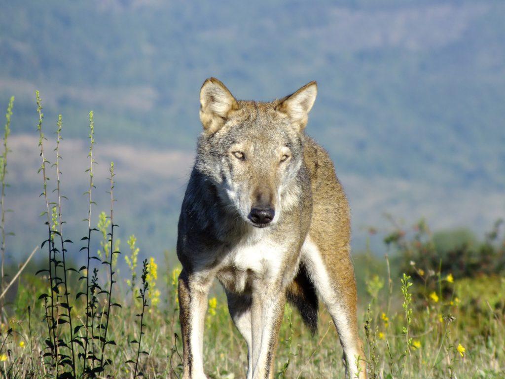 foto di un lupo
