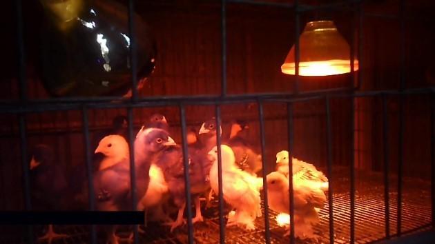 immagine di quaglie in gabbia