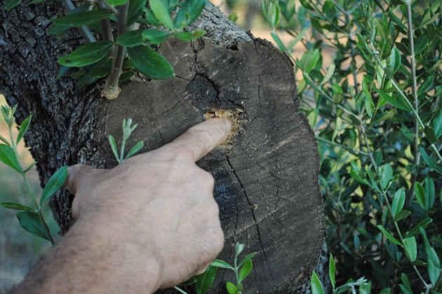 Xylella, un agricoltore indica il punto in cui è stato colpito un albero