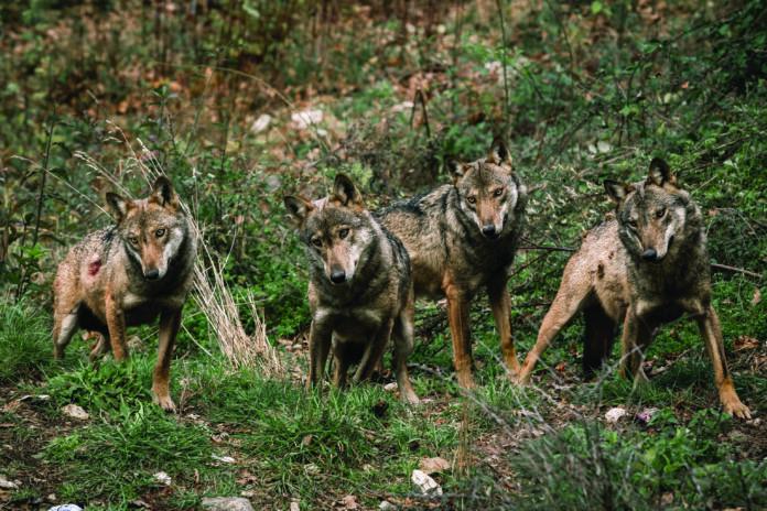 foto di lupi
