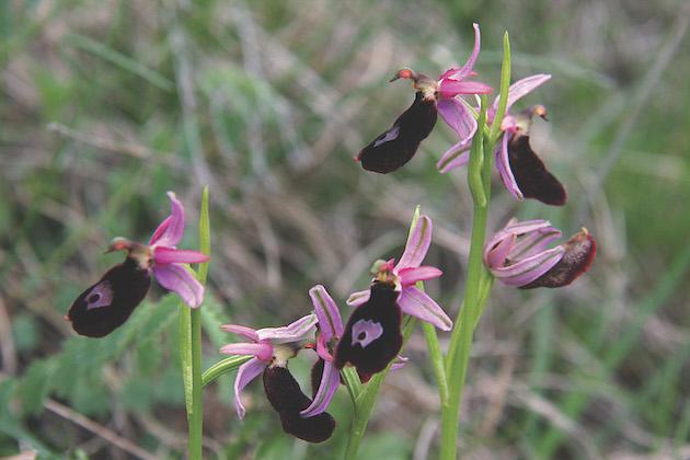 orchidee alpine