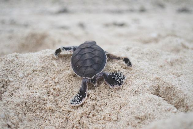 tartaruga marina maschio