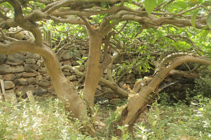 Albero pantelleria
