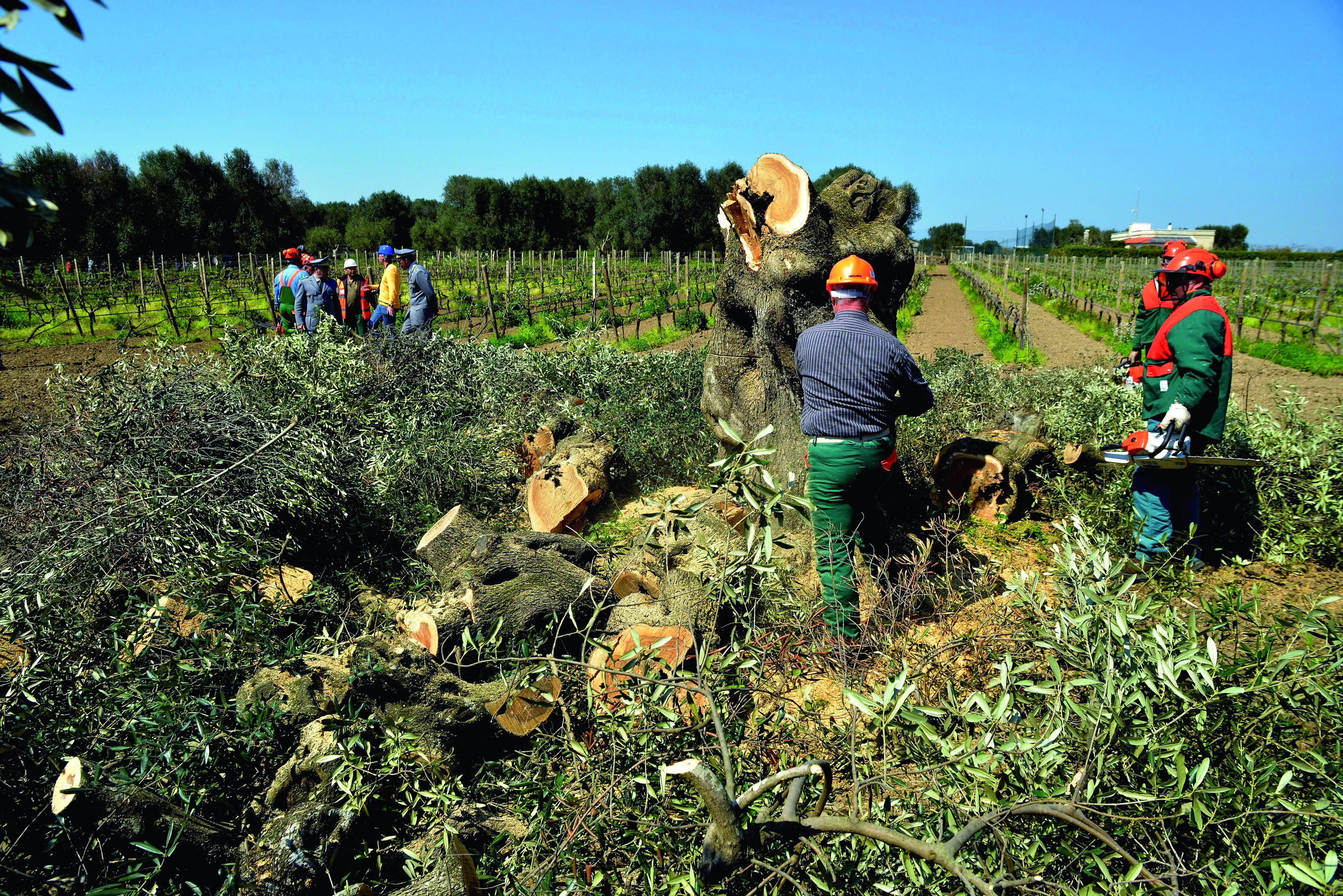 immagine di eradicazione di ulivi colpiti dalla Xilella Fastidiosa